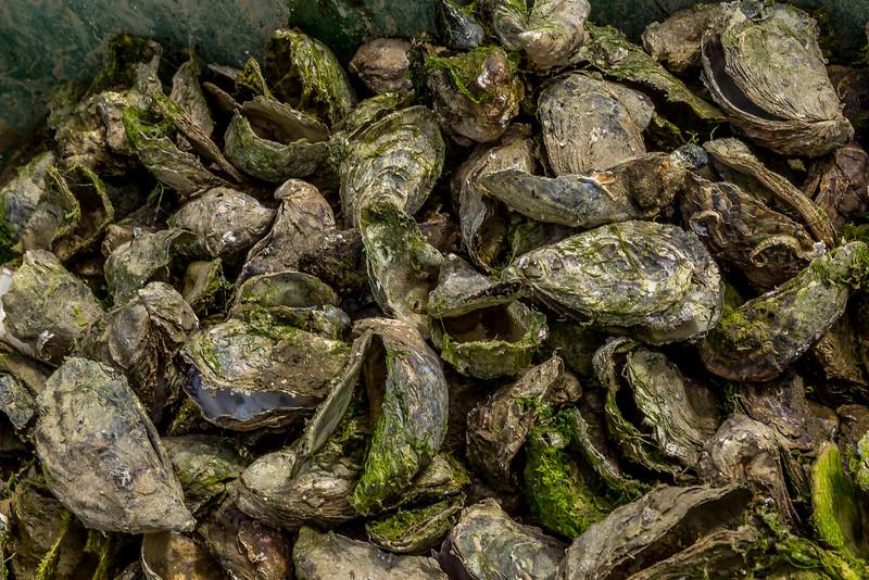Austern - nicht zum Essen geeignet