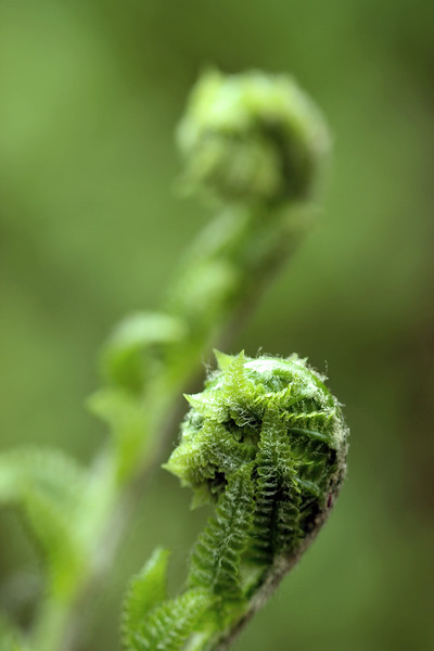 Macro view of a fiddlehead fern with copy space