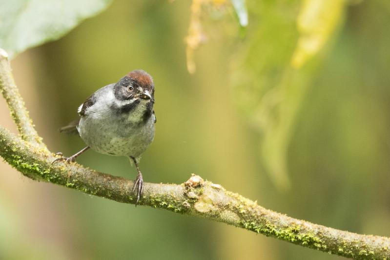 Slaty Brush-Finch - Papallacta, Ecuador