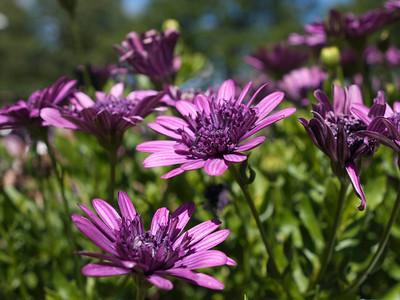 Osteospermum - Daisy 3D Purple