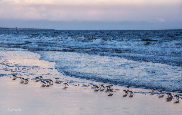 Sanderlings - Caswell Beach, Oak Island, NC