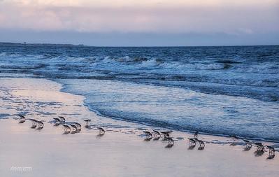Sanderlings - Caswell Beach, Oak Island, NC