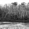 Dogwoods Along the Shenandoah _ bw