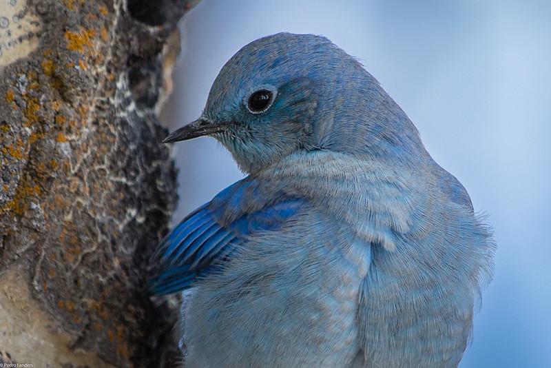 Bluebird - Detail