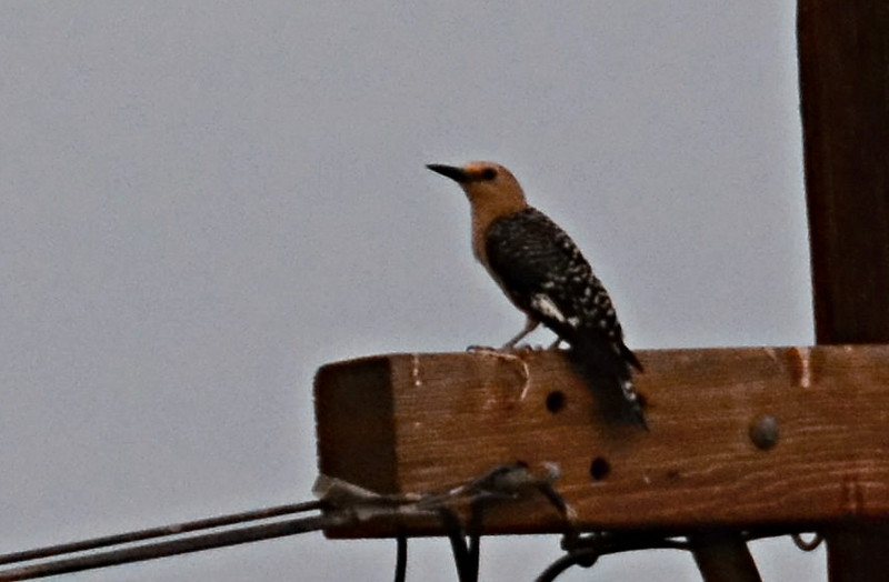 Gila woodpecker - 7/27/2014 - Carter and Fites area Imperial Valley