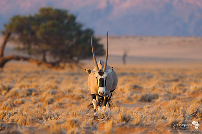 Oryx at Sunset