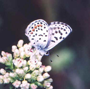 Dotted (Damer's) Blue