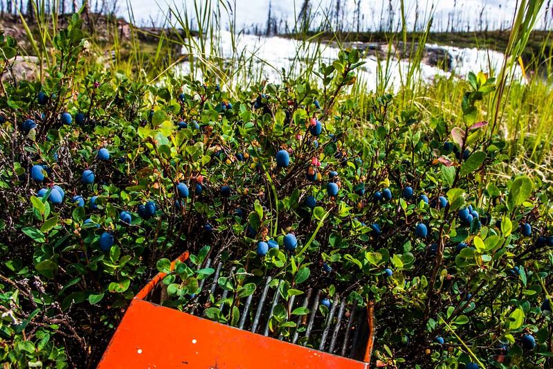 Blueberries PIckin'
