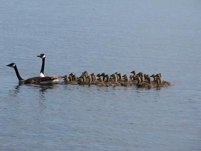 20120519 Canada Goose Adults & Goslings