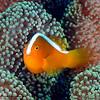 Orange Anemonefish