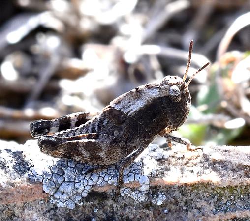 Arphia conspersa (Speckle-winged Rangeland Grasshopper)