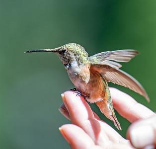 7-31-20 HummingBird