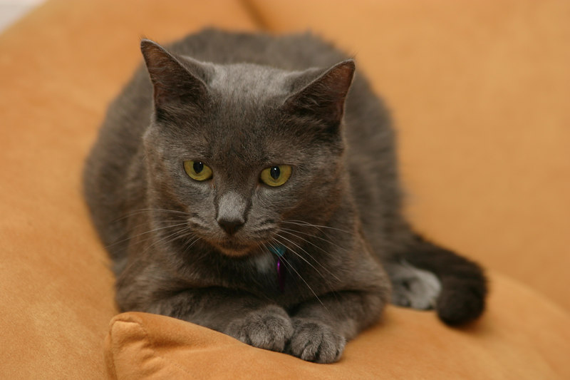 """Jessie has some """"Russian Blue"""" blood."""