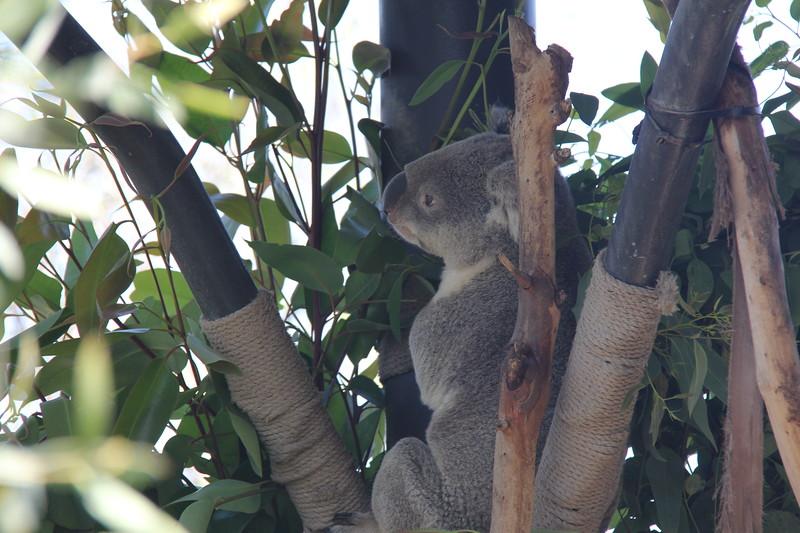 20170807-036 - San Diego Zoo - Koala.JPG