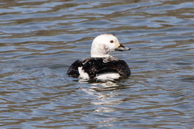 Long-tailed Duck (Female) @ Lion's Lake Park