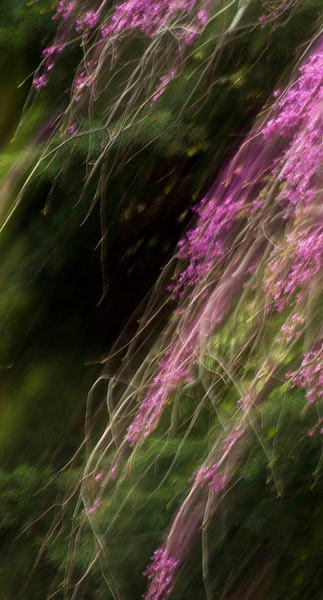 Redbuds, swaying in the breeze.  Oh wait, the wind's not blowing, I'm moving my camera!