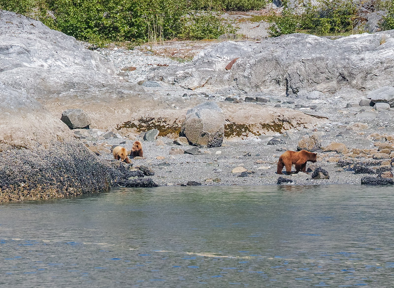 A Kodiak Grizzly Brown Bear (Ursus arctos) mother and her cubs walk along the shore of Glacier Bay National Park