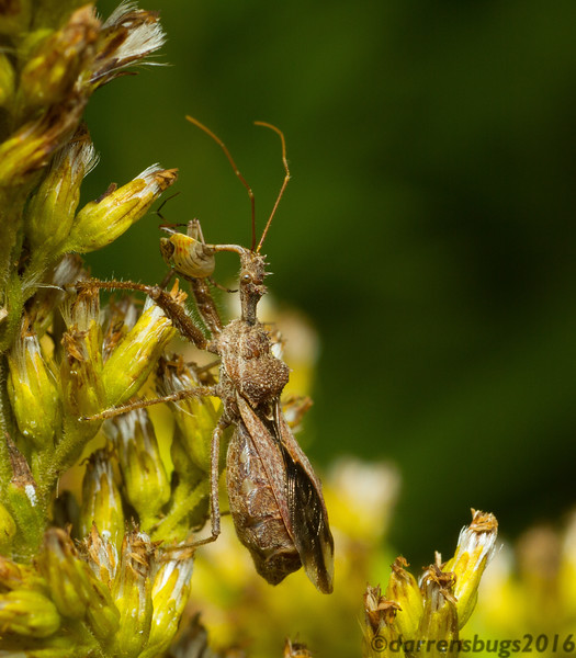 Spiny assassin bug (Reduviidae: Sinea sp.) with plant bug prey (Miridae) in Iowa. Likely a gravid (pregnant) female.