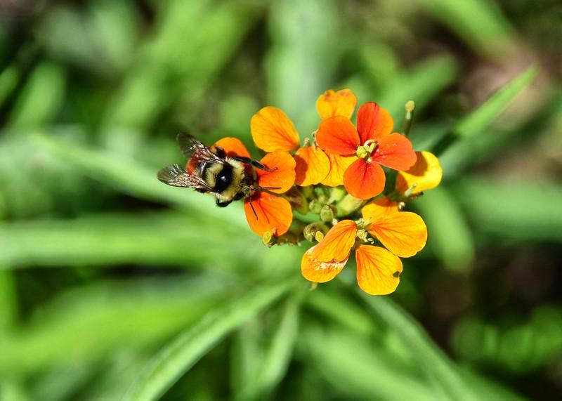NEA_6930-7x5-Bee on Flower.jpg