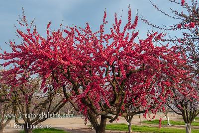 Early Double Red Flowering Peach (Prunus persica)