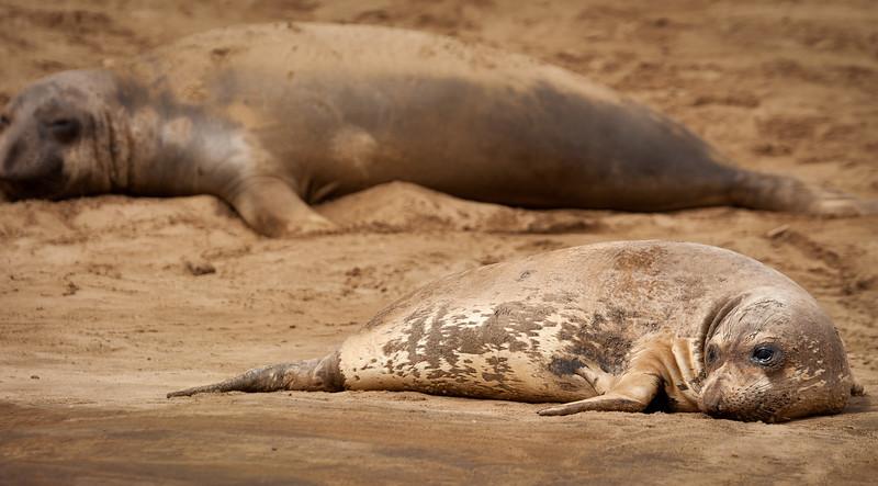 Seal 3, Año Nuevo State Park, California, 2010