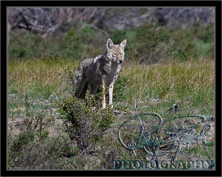 RMNP Coyote May09--2267.jpg