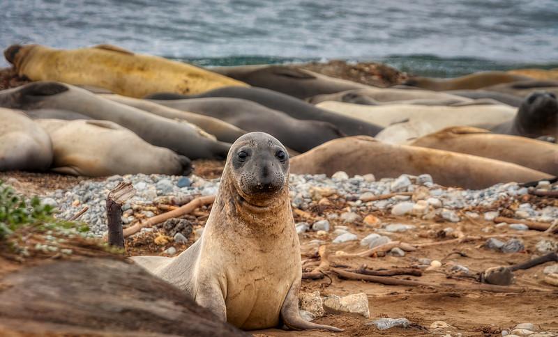 Seal 2, Año Nuevo State Park, California, 2010