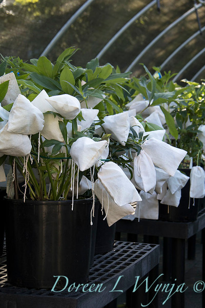 Helleborus with seed bags_4433.jpg