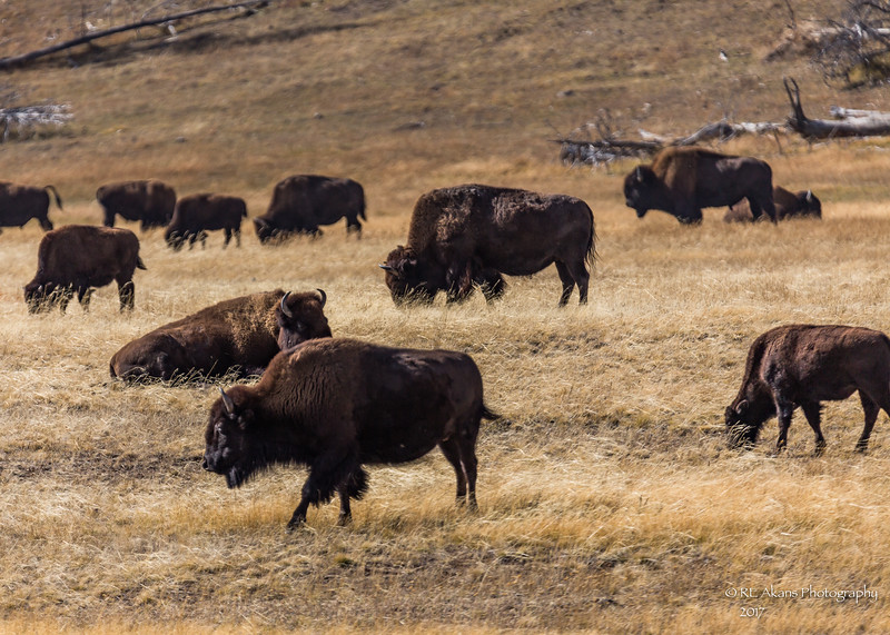 Yellowstone Bison C792.jpg
