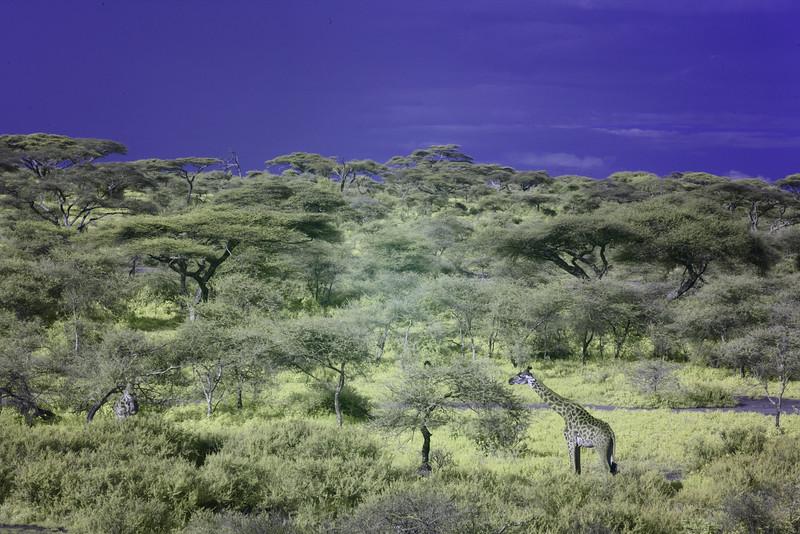 Ndutu Migration 2016