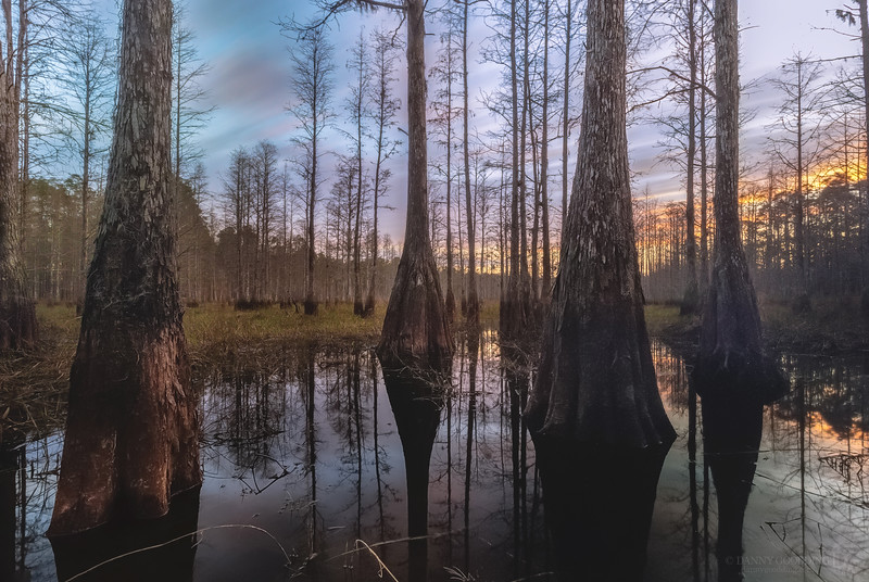 Sunset long exposure over a cypress dome swamp