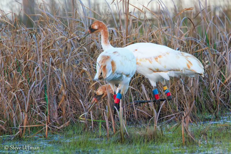20120207-_MG_2568Whooping_Cranes_White_Lake-Edit.jpg