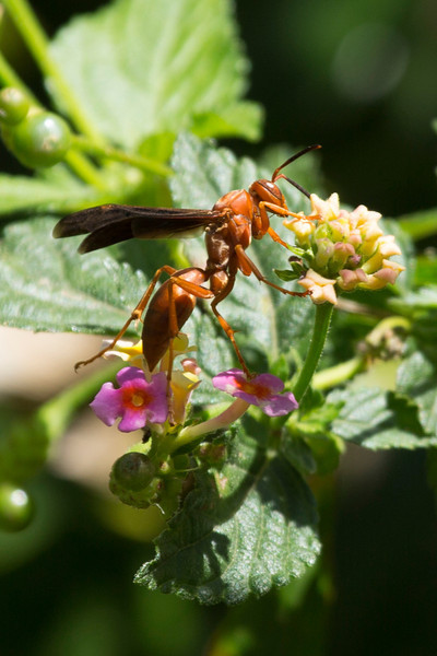 A Red Paper Wasp in the lantana