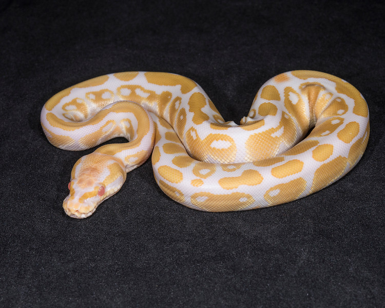 1824_F Albino, $200