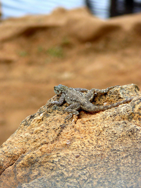 Lizard Tsavo East.jpg