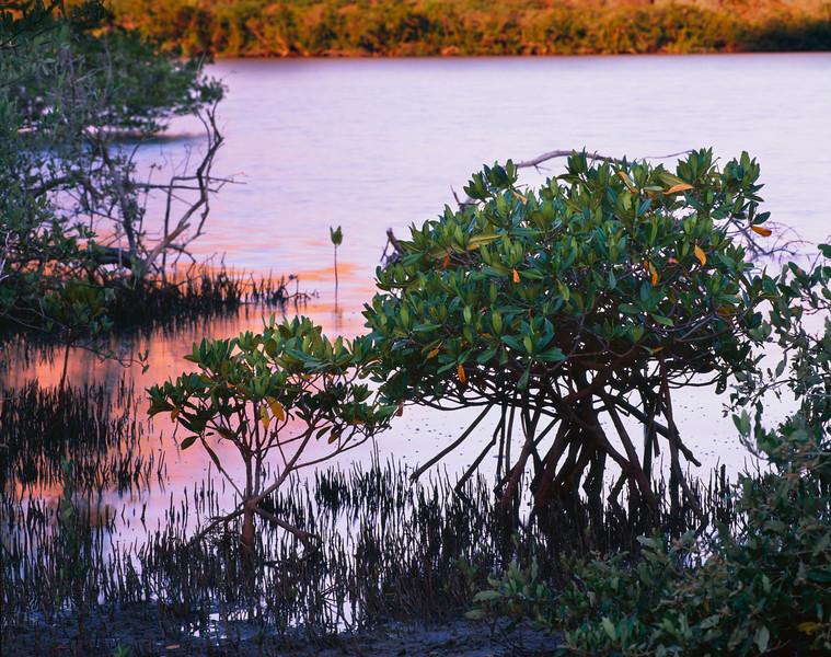 Baja California Sur, Mexico / La Paz, Estero Balandra. The volcanic cliffs glowing at sunrise reflected behind silhouetted red mangroves, Rhizophora mangle, 907H