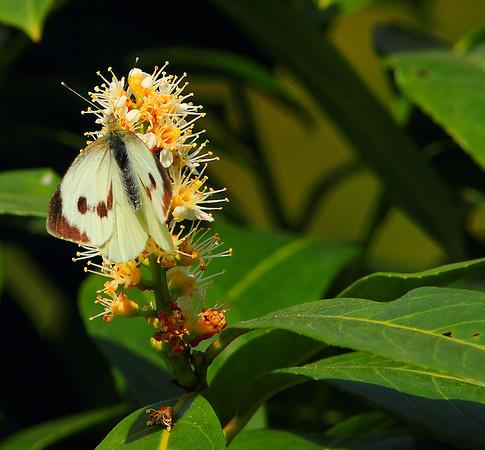 Butterflies Kelebekler Farfalle