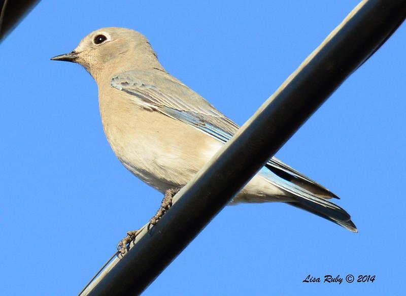 Female Mountain Bluebird - 1/2/14 - Rangeland Road