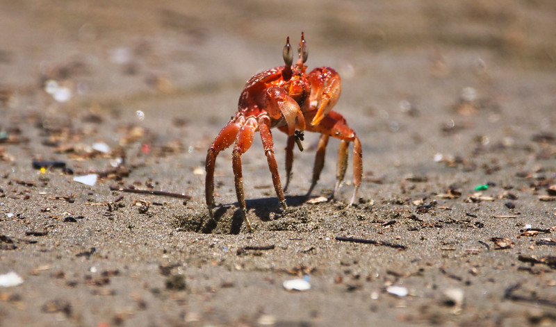 Crab walking at the beach