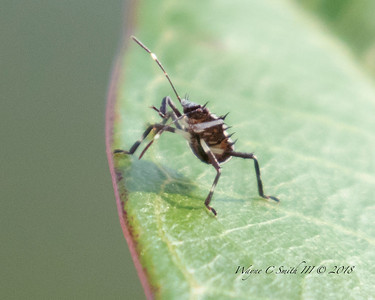 Weevil