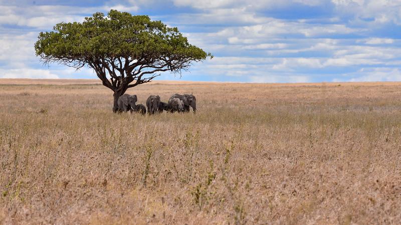 Elephants-resting-in-shade-acacia-tree-serengeti.jpg