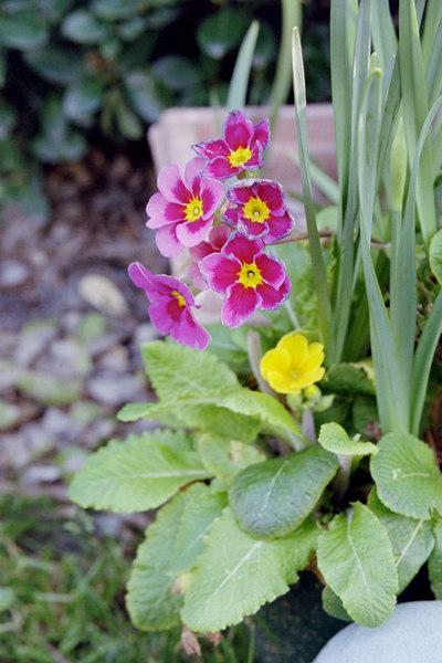 primrose in my yard
