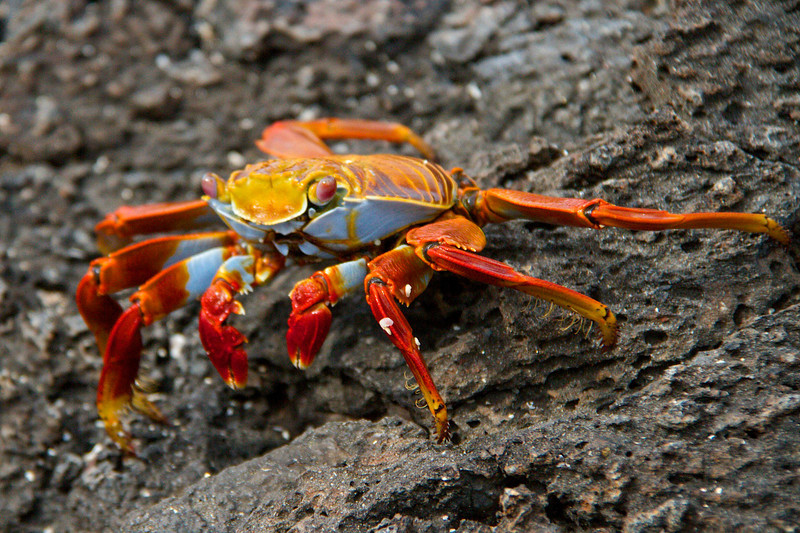 Crab _ Galapagos Islands