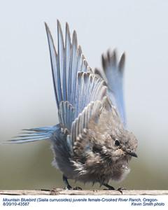 MountainBluebirdJF43587.jpg