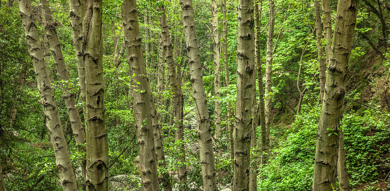 White Alder Trees in Big Santa Anita Canyon San Gabriel Mountains Southern California