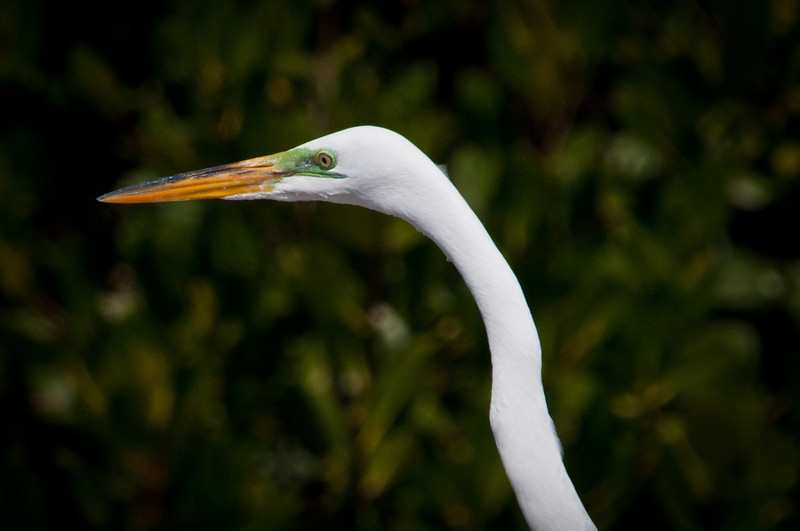 Great Egret at Ding Darling.