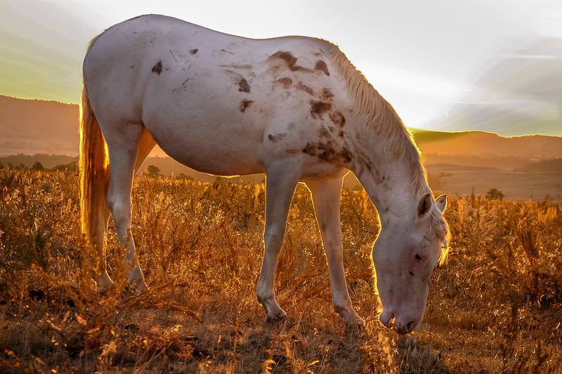 Backlit Wild Horse Grazing #2