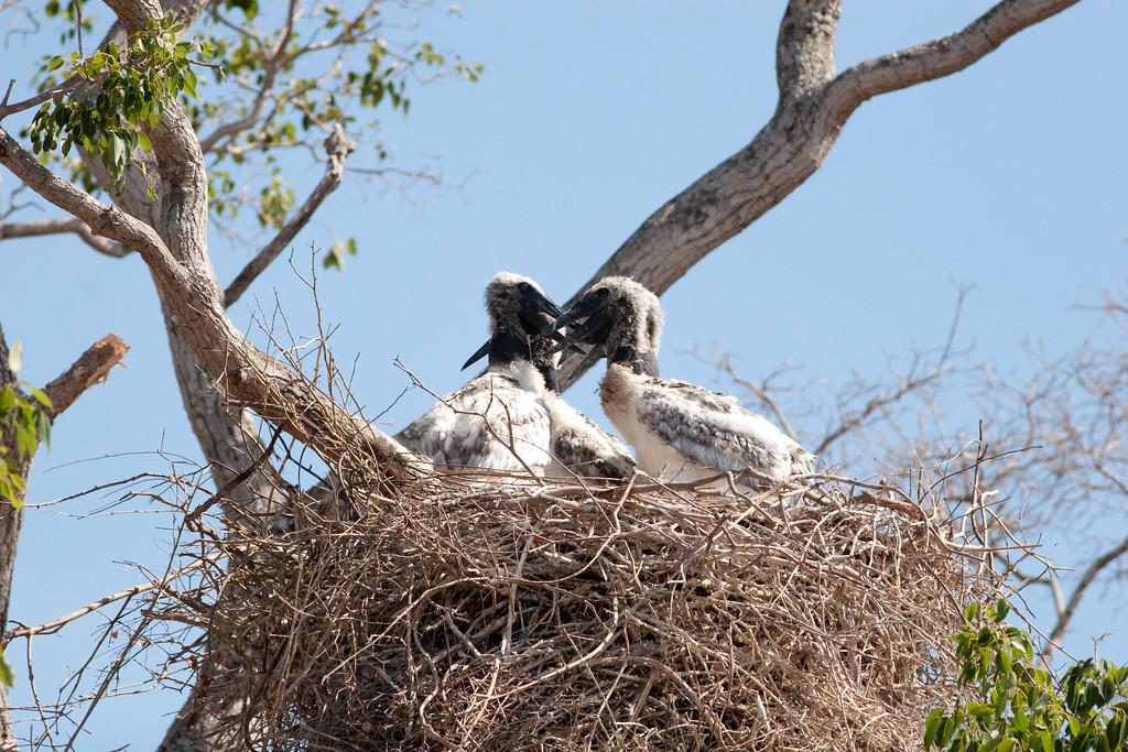 Jabiru Stork Pant_06-08-13_0073