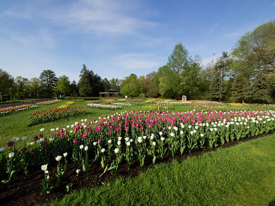 Tulip Garden_May 13, 2014