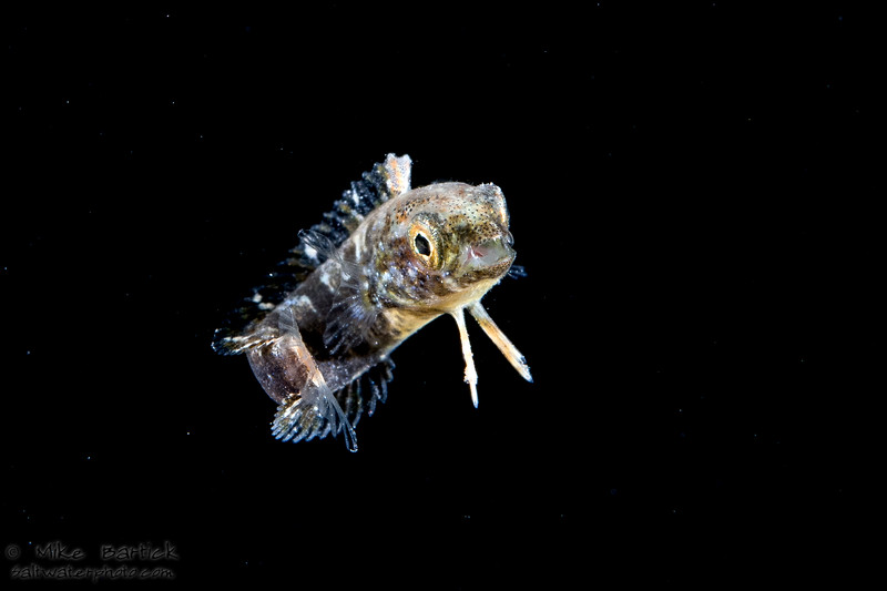 Larval blenny (1 of 1).jpg